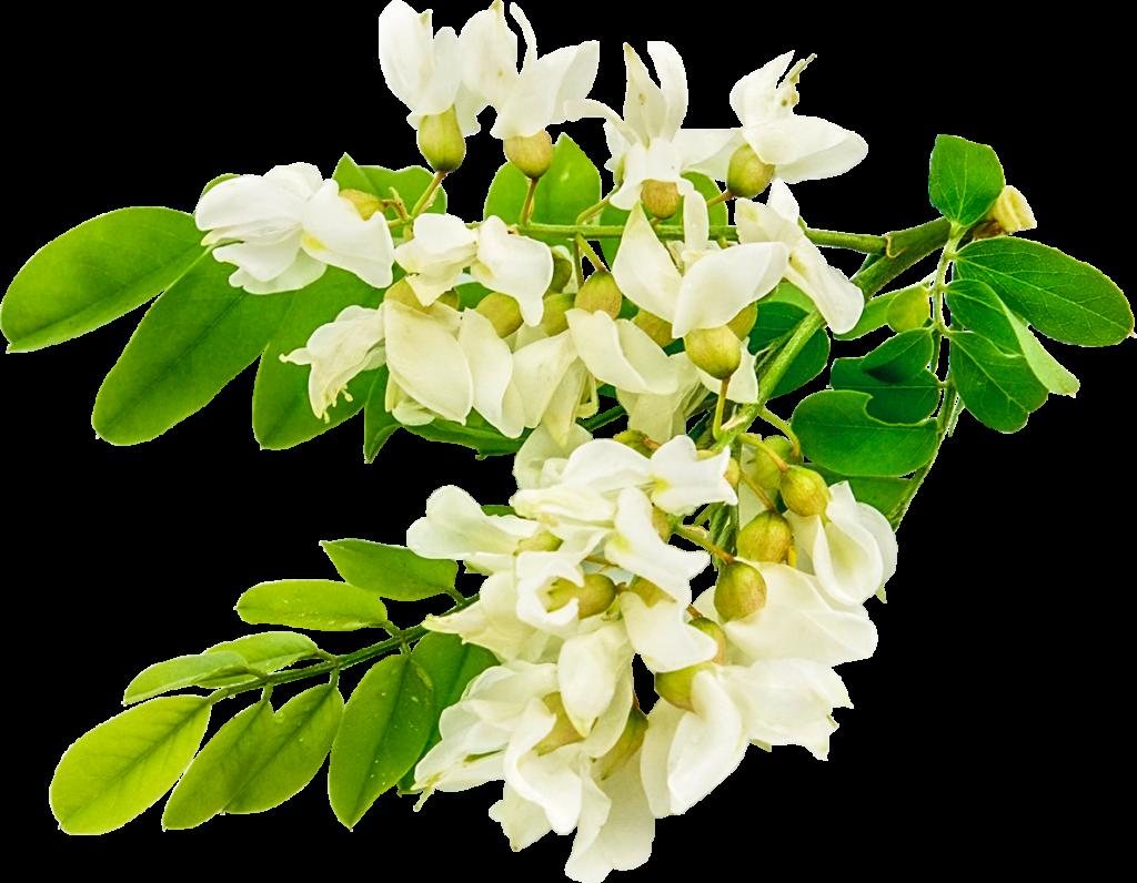 Fleur d'acacia, écrin d'un miel d'exception